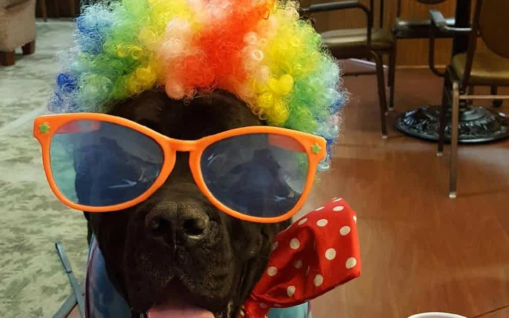 Bullmastiff Brings Joy to Morning Pointe Residents